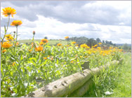 Marigolds and View  at Little Edstone